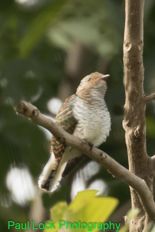 African Emerald Cuckoo (female)