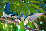 White-throated Magpie-Jays