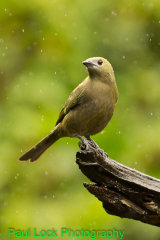 Passerini's Tanager (female)