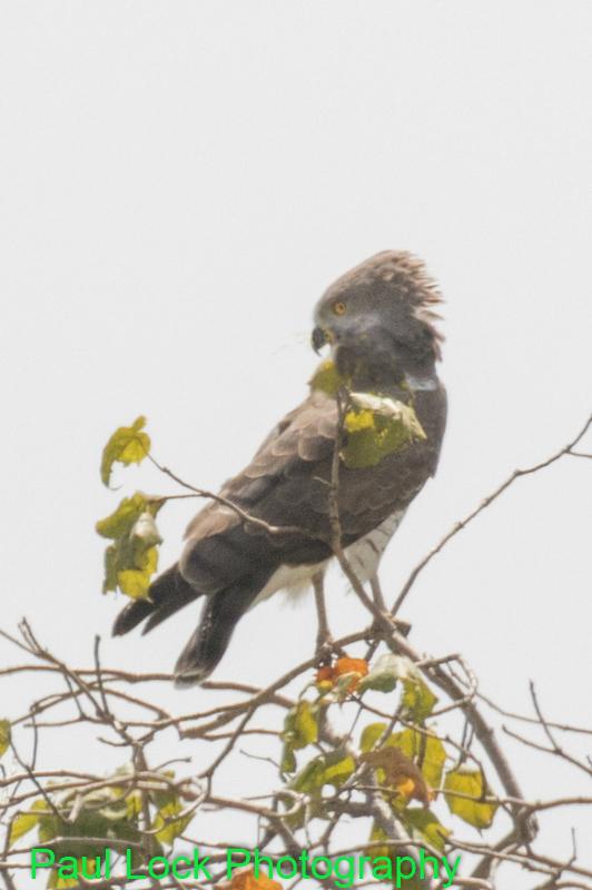 Beaudouin's Snake Eagle