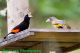 Cherrie's Tanagers (male and female)