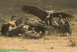 Various Vultures having lunch.
