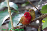 Red-billed Firefinches