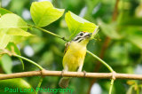 Yellow-fronted Tinkerbird