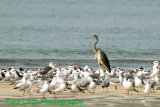 Black-headed Heron with many smaller friends