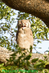 A young Verreaux's Eagle Owl.