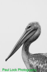 Pink-backed Pelican shown in black and white