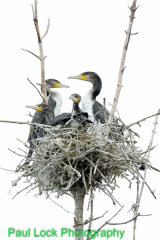 A crowded Cormorant nest