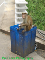 Alfresco dining for a Toque Macaque