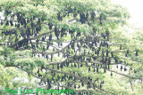 Indian Flying Foxes