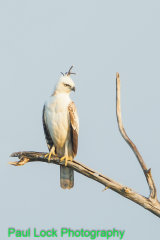 Crested Hawk Eagle (juvenile)