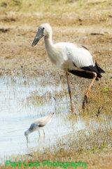 Asian Openbill with Marsh Sandpiper