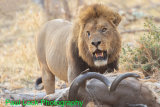 Lion with Kudu kill (scarred right eye but eye OK)