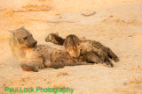 Spotted Hyaena with young