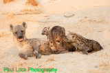 Hyaena feeding pups.The cub at the back is not hers but she will feed it. However her bigger cubs keep it away!
