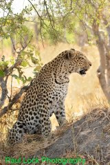 Leopard watching intently