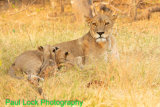 Lioness feeding cubs