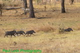A family of Warthogs on the trot