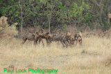 Wild Dogs eating their kill