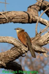 Coppery-tailed Coucal (lays eggs in other bird's nests)