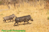 Male and female Warthogs