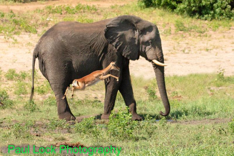 Elephant with Impala
