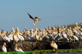 Great White Pelican about to join his many friends.