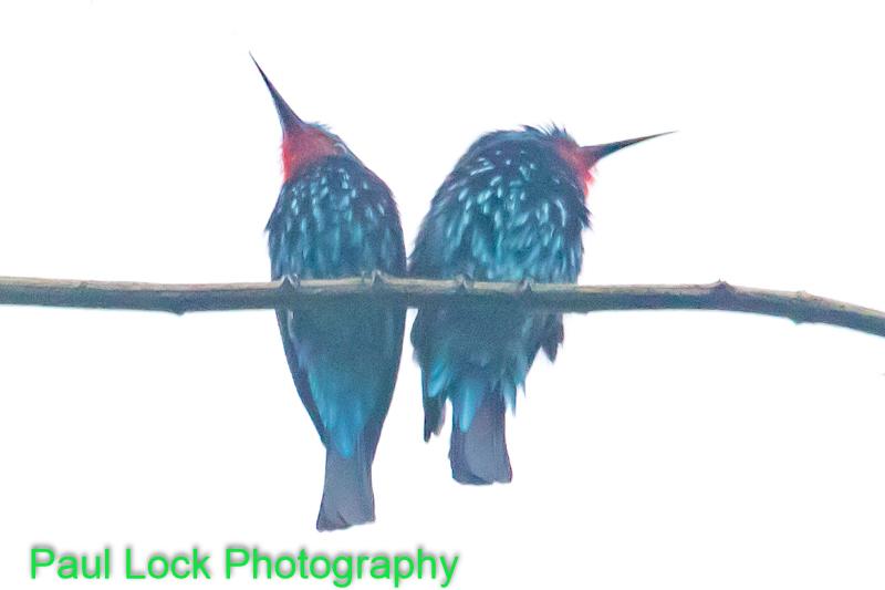 Black Bee-eaters