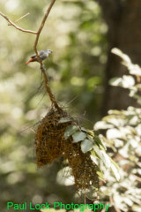 Lavender Waxbill with a potential nest