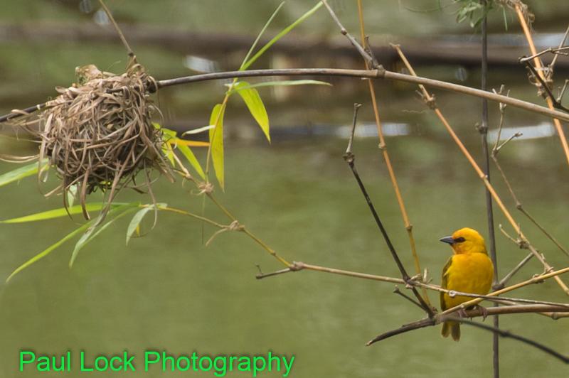 Orange Weaver and nest