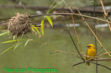 Orange Weaver and nest