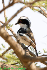 Senegal Batis (male)