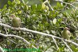 African Green Pigeons