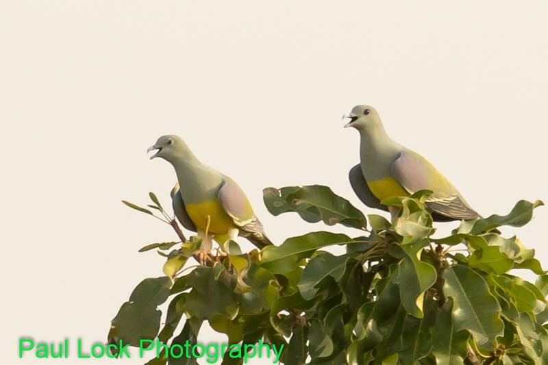 Bruce's Green Pigeons