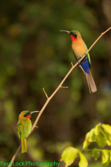 Red-throated Bee-eaters