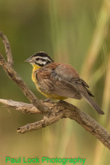 Brown-rumped Bunting