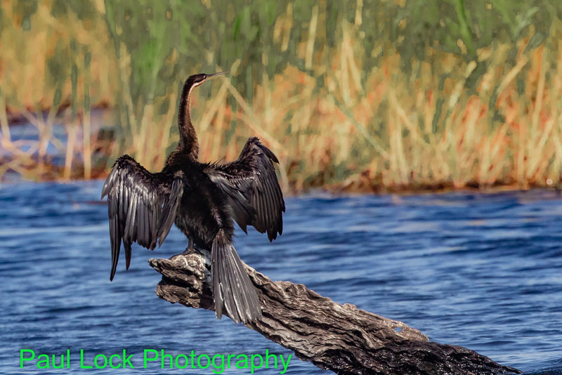 African Darter drying out