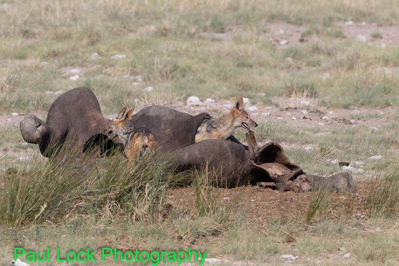 Black-backed Jackals inside a Rhino carcass