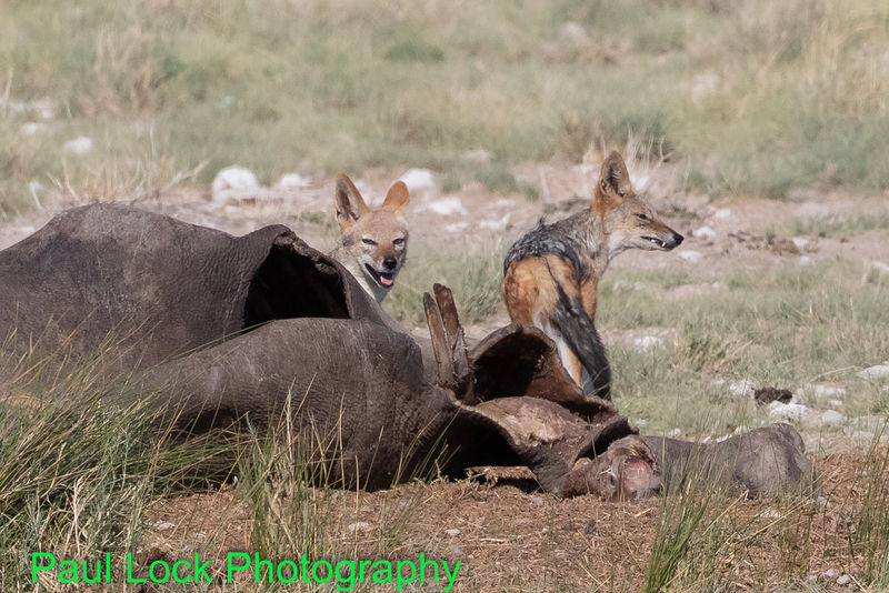 Black-backed Jackals on Rhino carcass