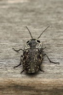 Eyed Click Beetle