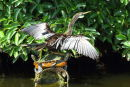 "Anhinga on two ""supports"""
