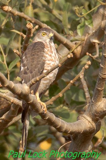 Shikra (juvenile)