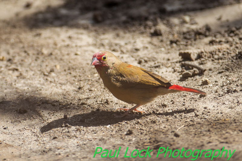 Red-billed Firefinch (female)