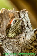 Cardinal Woodpecker at work