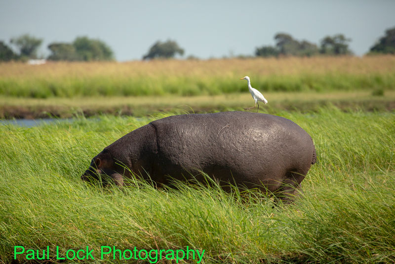 Hippo with small friend