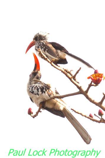 Red -billed Hornbill