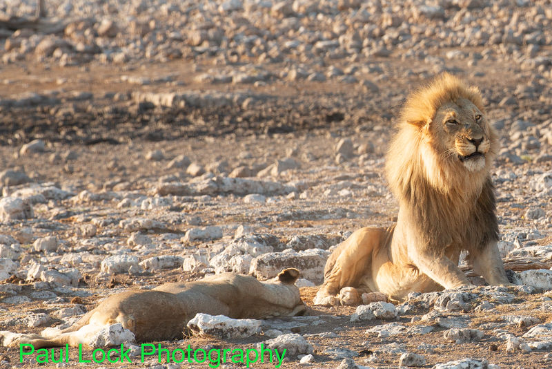Lion with mate