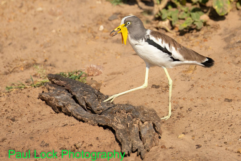 White Crowned Lapwing (or Plover)