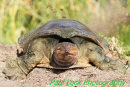 Soft shelled turtle preparing a place to lay its eggs.