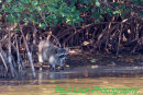A Raccoon showing interest in something in the water.